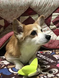 ベッドに横たわっている犬の写真・画像素材[2707211]