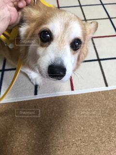 カメラを見ている茶色と白の犬の写真・画像素材[2709666]