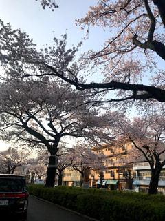 桜の写真・画像素材[3081424]