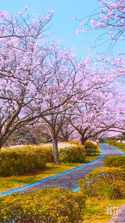空,花,春,桜,屋外,満開,樹木,お花見
