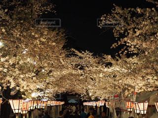 花,春,桜,木,屋外,幻想的,花見,夜桜,樹木,お花見,ライトアップ,イベント