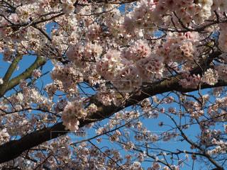 花,春,桜,木,枝,花見,満開,樹木,お花見,イベント,草木,桜の花,さくら,ブロッサム