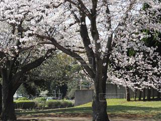 公園,花,春,桜,木,屋外,花見,草,樹木,お花見,イベント,草木,桜の花,さくら,ブロッサム,立派な木
