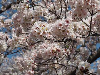 花,春,桜,木,花見,樹木,お花見,イベント,草木,桜の花,さくら,ブロッサム