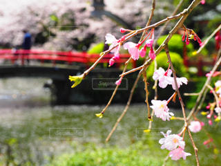 花,春,桜,木,屋外,ピンク,花見,鮮やか,草,お花見,イベント,カラー,草木,さくら,ブロッサム