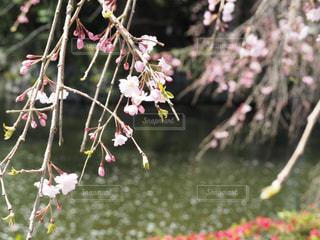 花,春,桜,木,水面,花見,樹木,お花見,イベント,枝垂れ桜,草木,さくら,ブロッサム
