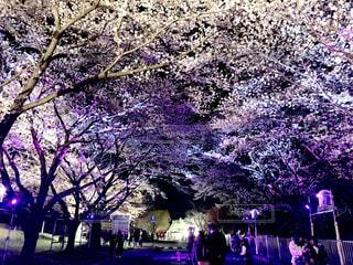 花,春,桜,木,花見,夜桜,樹木,イルミネーション,お花見,ライトアップ,イベント