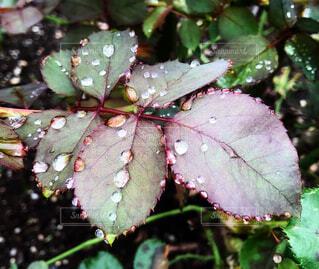 薄紫の葉っぱと葉についた雨粒をクローズアップした梅雨の風景の写真・画像素材[4536058]