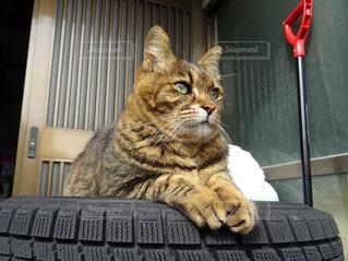 猫,動物,かっこいい,ペット,人物,お座り,タイヤ,玄関,凛々しい,前足,ネコ,ネコ科の動物