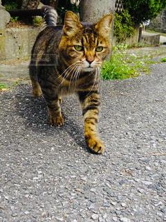 猫,動物,屋外,かっこいい,歩く,ペット,人物,コンクリート,地面,目,オス,獲物,ネコ,狙う,忍び足,抜き足,差し足