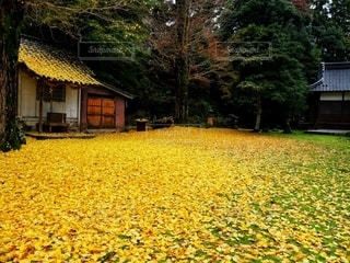 銀杏の絨毯の写真・画像素材[2616059]