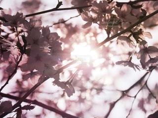 満開の桜に降り注ぐ日の光の写真・画像素材[2623766]