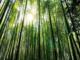 竹林に降り注ぐ木漏れ日の写真・画像素材[2623789]