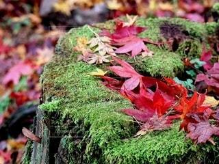 切り株の苔の上に積もる紅葉の写真・画像素材[2661903]