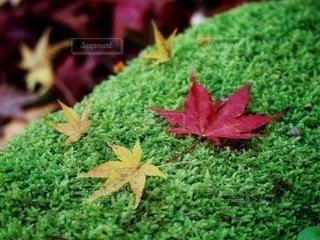 苔の上に落ちた赤と黄色の紅葉の写真・画像素材[2661907]
