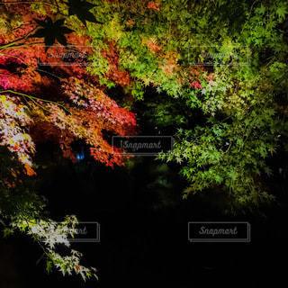 紅葉のライトアップの写真・画像素材[2717379]