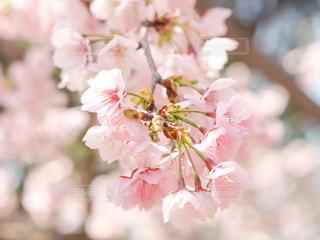 満開の桜の花の写真・画像素材[2782289]
