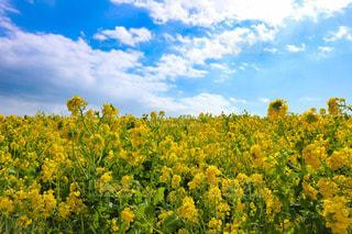 青空と菜の花畑の写真・画像素材[2985304]