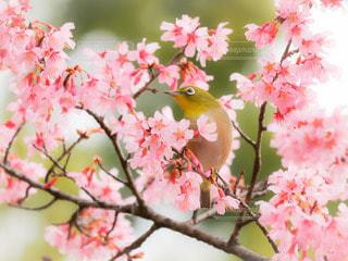 自然,花,春,桜,鳥,木,ピンク,かわいい,花見,景色,樹木,お花見,イベント,野鳥,メジロ,桃色,草木,サクジロー,ついばむ