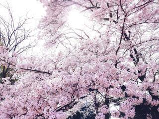 自然,花,春,桜,木,屋外,ピンク,花見,景色,花びら,光,満開,美しい,樹木,お花見,イベント,桃色,草木,桜の花,ソメイヨシノ,さくら,ブロッサム