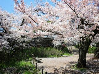 自然,公園,花,春,桜,桜の名所,木,屋外,ピンク,青空,ベンチ,花見,満開,樹木,お花見,イベント,桜吹雪,桃色,夙川,草木,桜の花,さくら,ブロッサム