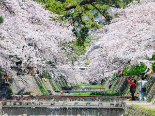 自然,風景,花,春,桜,桜の名所,木,屋外,緑,水,川辺,川,水辺,花見,美しい,樹木,お花見,人,イベント,桜吹雪,夙川,草木