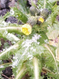 雪に耐える花の写真・画像素材[2810203]