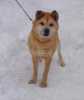 雪国の犬の写真・画像素材[2810431]