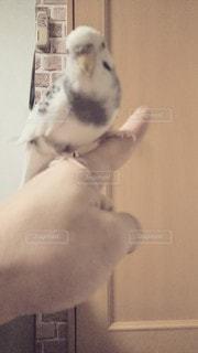指差し方向じゃなく、こっち見てるインコちゃん!の写真・画像素材[2956769]