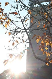 空,秋,屋外,太陽,葉,オレンジ,光,樹木,太陽光,草木,フォトジェニック,光の帯