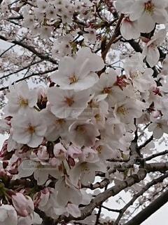 花,桜,桜の花,さくら