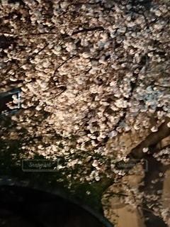 花,春,夜桜,さくら