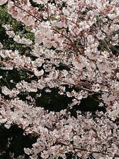 花,春,桜,桜の花,さくら
