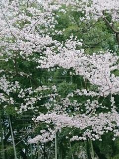 花,桜,サクラ,樹木,さくら