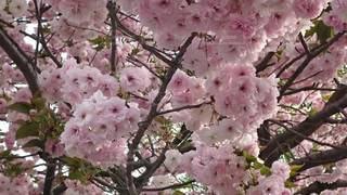 花,春,桜,樹木,八重桜,桜の花,さくら