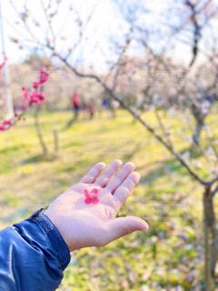 梅の花を拾ったよの写真・画像素材[3023326]