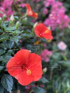 花,屋外,ハイビスカス,鮮やか,明るい,フラワーマーケット