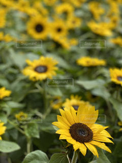 花,花畑,ひまわり,黄色