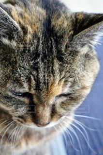 猫,動物,ペット,人物,グレー,耳,ネコ,ひげ,ネコ科の動物,トラ柄