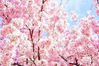 花,春,木,ピンク,青空,枝,満開,樹木,カラー,草木,桜の花,桜の木,さくら,ブロッサム