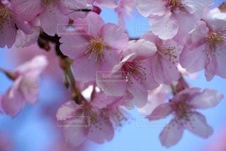 花,春,ピンク,かわいい,青空,満開,草木,桜の花,さくら,ブルーム,ブロッサム