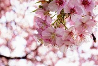 花,春,ピンク,満開,草木,桜の花,桜の木,さくら,ブルーム,ブロッサム,さくら桜