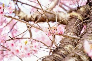 花,桜,屋外,ピンク,樹木,草木,桜の木,さくら,ブロッサム