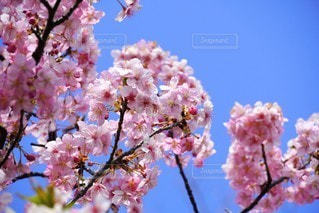 空,花,春,桜,屋外,ピンク,青空,鮮やか,樹木,カラー,草木,桜の花,さくら,ブロッサム