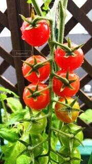 ベランダに植えたミニトマトの写真・画像素材[4655857]