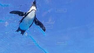 泳ぐペンギンの写真・画像素材[4709719]