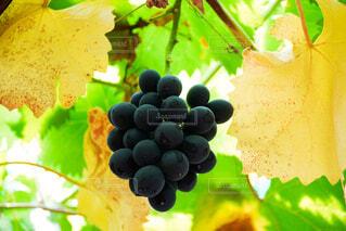 木に黒いブドウがなってる様子の写真・画像素材[4809755]