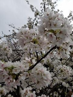 空,花,春,ピンク,満開,草木,桜の花,さくら,ブルーム,ブロッサム,かなり