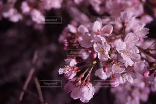 花,春,桜,木,花見,夜桜,景色,鮮やか,お花見,イベント,アップ,草木,ブロッサム