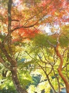 秋の紅葉 グラデーションの写真・画像素材[2583062]